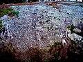 Petróglifo A Pedra das Cabras, Ribeira.jpg