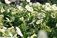 Petunia floribunda Yellow Madness 2zz.jpg