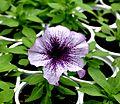 Petunia hybr. Petunia პეტუნია.JPG
