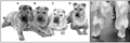 Phenotypic spectrum of the Chinese Shar-Pei.png