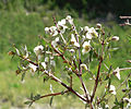 Philadelphus microphyllus 5.jpg