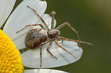 Philodromus.dispar.female.jpg