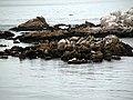 Phoca vitulina (harbor seal).jpg