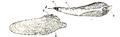 Pholas dactylus 001.png