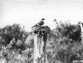 Photograph of Nesting Kingbird - NARA - 2129021.tif
