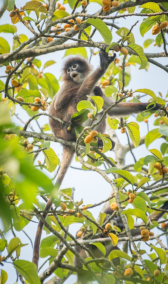 Phyre's leaf monkey Magestic.jpg
