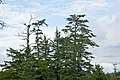Picea sitchensis Wild Pacific Trail, Ucluelet 2.jpg