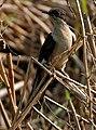 Pied Cuckoo (Clamator jacobinus) in AP W IMG 3950.jpg