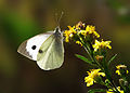 Pieris brassicae Large Cabbage White.jpg