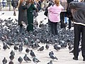 Pigeons at Piazza San Marco.jpg