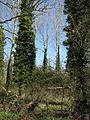 Pillars of ivy - geograph.org.uk - 745726.jpg
