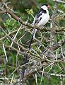Pin-tailed Whydah (Vidua macroura) (31024081276).jpg