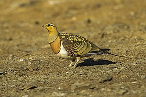 Columbimorphae - Pin-tailed sandgrouse (Pterocles alchata)