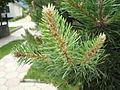 Pine in Radiovce 1.JPG