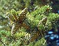 Pinus flexilis cones USDA.jpg