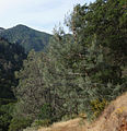 Pinus sabiniana Mitchell Canyon Mount Diablo.jpg