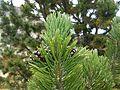 Pinus uncinata (15265238728).jpg