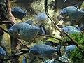 Piranha (7987427367).jpg