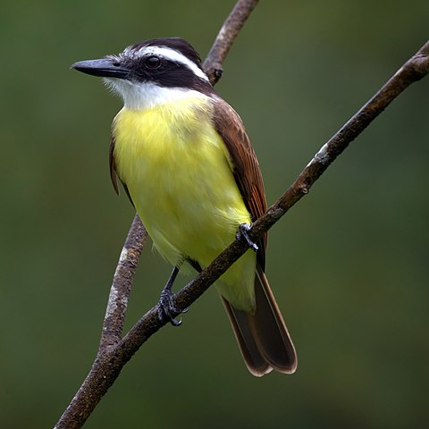 Kiskadee on a branch, looking yellow