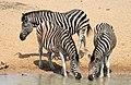 Plains zebra (common zebra or Burchell's zebra), Equus quagga, at the water hole, uMkhuze Game Reserve, kwaZulu-Natal, South Africa (15422878906).jpg