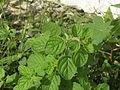 Plant, wild basil.JPG