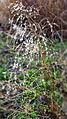 Plant met dauw in de winterse Loonse en Drunense Duinen in 2013.jpg