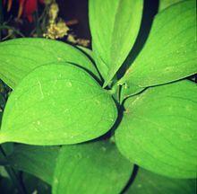 Plantas inferiores y superiores - Wikipedia, la enciclopedia libre