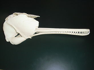 South Asian river dolphin - Skull cast