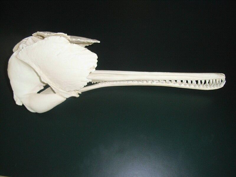 File:Platanista gangetica skull cast.jpg