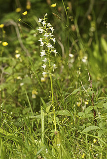 <i>Platanthera chlorantha</i> species of plant