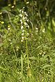 Platanthera chlorantha LC0225.jpg