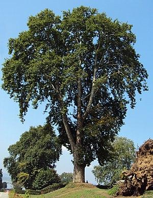 Platanus orientalis - Image: Platanus orientalis tree