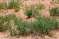 Pleuraphis mutica - Flickr - aspidoscelis (1).jpg