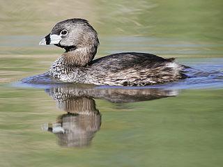 Pied-billed grebe Species of bird