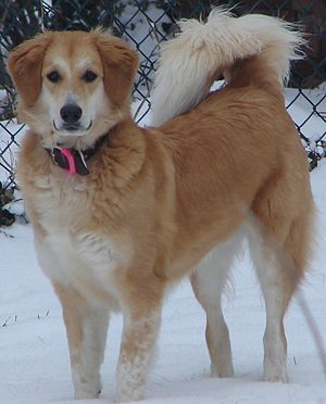 Mongrel - Heavy winter coat with countershading in a mixed-breed
