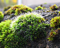 Polster-Kissenmoos Grimmia pulvinata.jpg