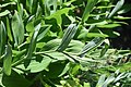 Polygonatum odoratum in Jardin botanique de la Charme 01.jpg