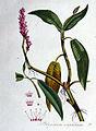 Polygonum amphibium — Flora Batava — Volume v1.jpg