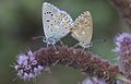 Polyommatus bellargus (Male-Female) - Çokgözlü Gökmavisi.jpg