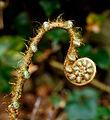 Polystichum setiferum 'Pulcherrimum Bevis'. Locatie, Tuinreservaat Jonkervallei 01.jpg