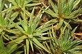 Polytrichum juniperinum (c, 141233-472402) 4500.JPG