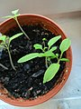 Pomidor, Solanum fazy wzrostu (4).jpg