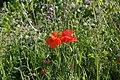 Poppies in field - geograph.org.uk - 525490.jpg
