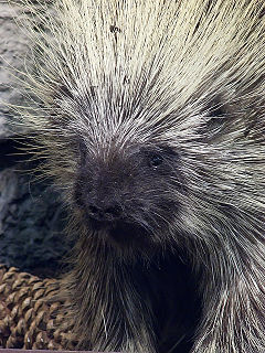 Porcupine Rodent with a coat of sharp spines