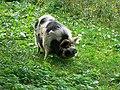 Pot-bellied pig, Winterbourne Monkton - geograph.org.uk - 1010504.jpg