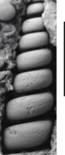 <i>Potamides archiaci</i> species of mollusc (fossil)