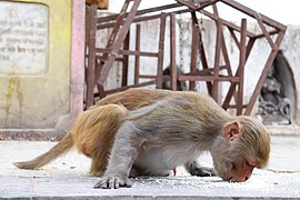 Potroit of Rhesus Macaque at Swayambhunath Stupa.jpg