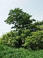Praha, Sobín, památný strom (olše).JPG