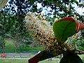 Praha, Vinohrady, Folimanka, květ stromu.jpg