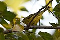 Prairie Warbler (documentation photos) (44921446242).jpg